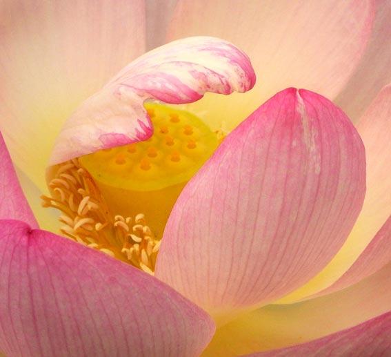 schöne Lotusblüte mit Fruchtpollen - rosa Farbe - Nahaufnahme