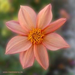 Entspannung mit Blütenfarben: Aster Blüte Mandala hellrot