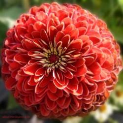 Mandala-Blüte: Rot (Aster)