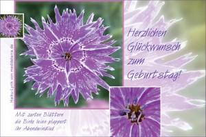 Geburtstagsgruß zum Ausdrucken oder per Mail - mit violetter Nelkenblüte und Haiku-Gedicht / Lyrik