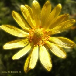 Mandala-Blüte: Gelb (Ringelblume) - Entspannung mit Blütenfarben - Blütenmeditation