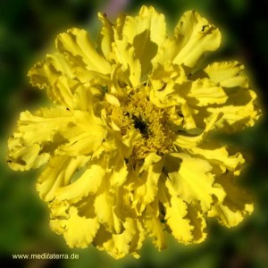 Entspannung mit Blütenfarben - gelbe Mandala-Blüte