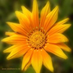 Mandala-Blüte: Orange (Ringelblume)