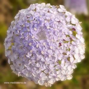 Entspannung mit Blütenfarben - Blütenmeditation