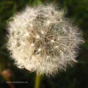 Mandala-Blüte: Silber (Löwenzahn - verblüht) - Entspannung mit Blütenfarben - Blütenmeditation - Farbmeditation