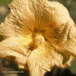 Goldfarbene Malvenblüte - Meditation mit Blütenfarben