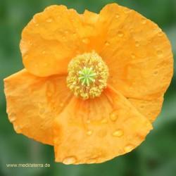 Orange Mohnblüte mit Tropfen - Mandala-Form - Entspannung mit Blütenfarben