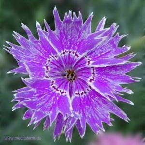 Mandala-Blüte: Violett (Nelke) - Entspannung mit Blütenfarben - Blütenmeditation - Farbmeditation