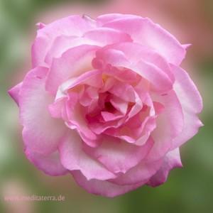 Rosa Rosenblüte in der Form eines Mandalas: Entspannung mit Blüten-Farben, Meditation mit Blüten und Farben