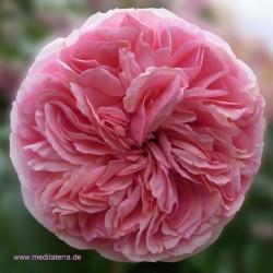 Entspannung mit Blütenfarben - rosa Rose