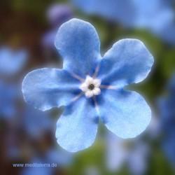 Mandala-Blüte: Blau (Vergissmeinicht) - Entspannung mit Blütenfarben - Blütenmeditation - Farbmeditation