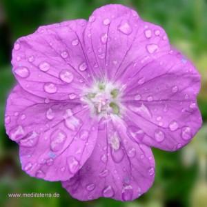 Blüte - violette Farbe mit Tropfen - Blütenmeditation