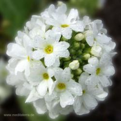 Mandala-Blüte: Weiß (mit Tropfen) - Entspannung mit Blütenfarben - Blütenmeditation - Farbmeditation