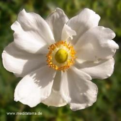 Mandala-Blüte - weiße Wildrose