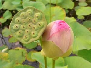 Gleich einem Lotusblatt den Schmutz abperlen lassen...