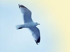 Schöne Möwe im Flug - blauer klarer Himmel