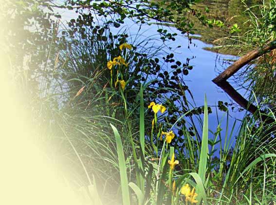 Gelbe Wasserlilienblüten am Herthasee im Nationalpark Jasmund auf Rügen Herthasee