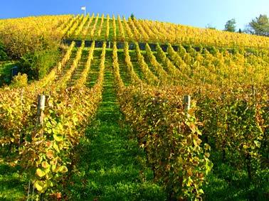 Weinberge im Herbst in Königswinter am Rhein