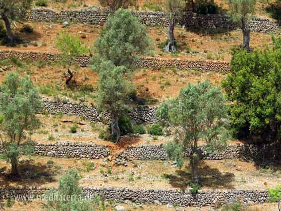 Mallorca: Olivenhain mit Steinmauern und Terrassen