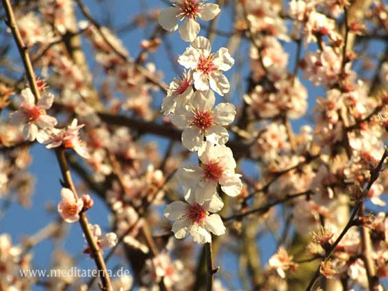 Mandelbaumblüte Mallorca