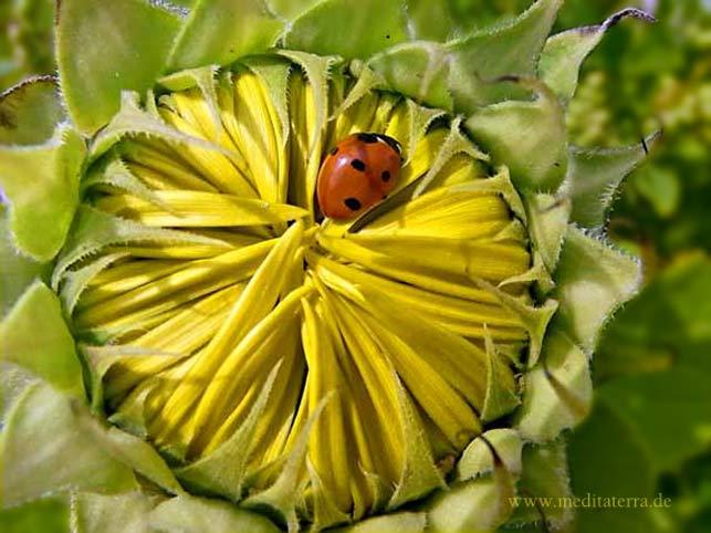 Achtsamkeitsübung: Gelbe Sonnenblumenknospe mit Marienkäfer - Nahaufnahme