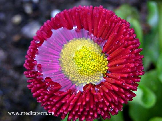 Weinrote Blüte mit Tropfen: Gänseblümchenart