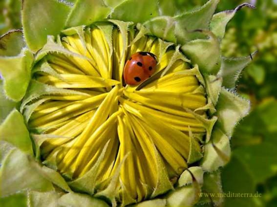 Marienkaefer auf Sonnenblumenknospe