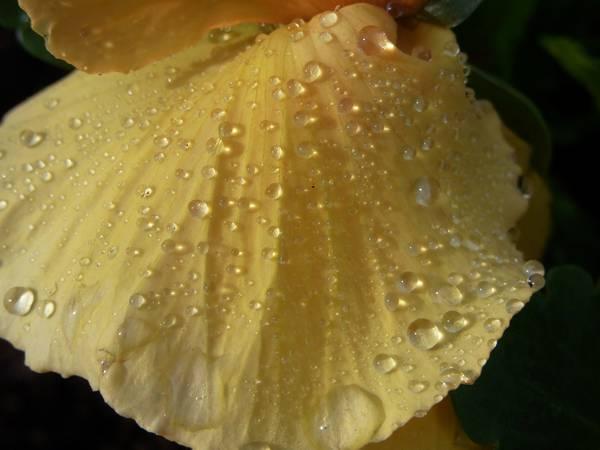 Wasserstropfen auf pastellgelbem Stiefmütterchenblütenblatt als Makroaufnahme