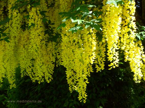 Blühende Goldregenzweige mit dichten Blüten