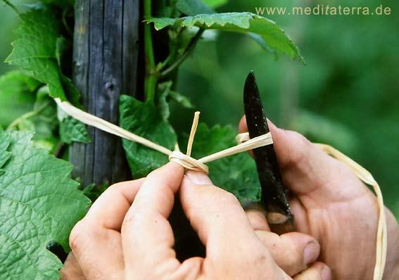 Moseltal Reben werden geschnitten und angebunden