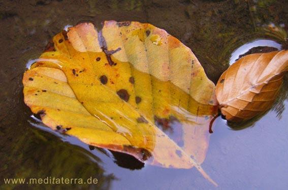 herbstliches Buchenblatt im Wassergarten