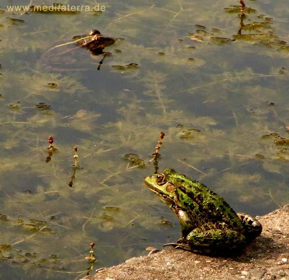 Frosch am Ufer eines Wasserbeckens
