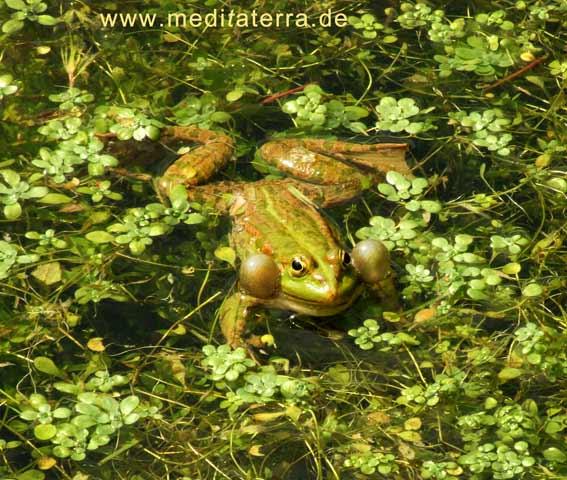 Frosch mit grünen Wasserpflanzen