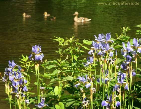 Gartenteich mit blauen Lilienblüten und Enten