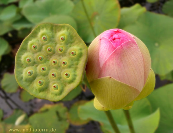 rosa Lotusblumenknospe