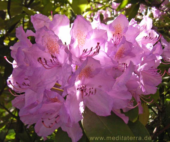 Violette Rhododendronblüte