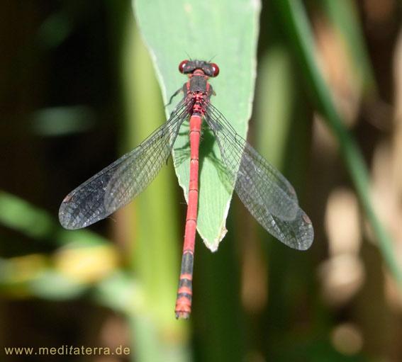 Rote Libelle im Wassergarten