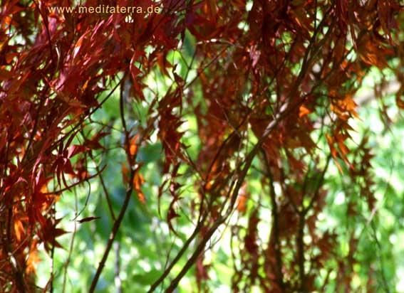 Ahornzweige - rot - im Wassergarten