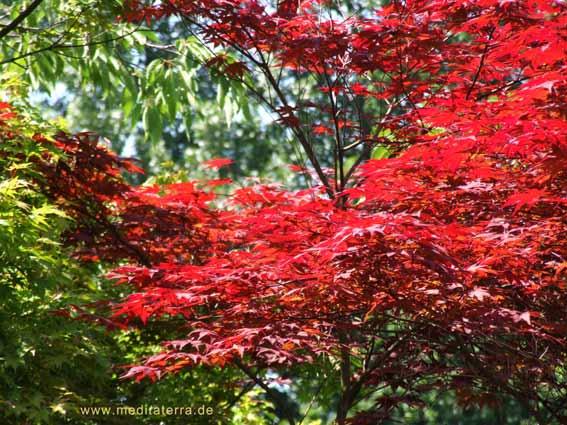 Roter Ahorn im japanischen Garten Hasselt - Niederlande
