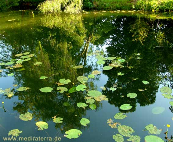 Trauerweide spiegelt sich im Teich