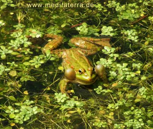 Quakender Frosch im Wasser