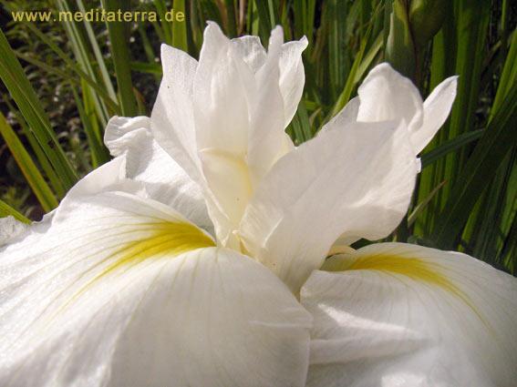 Nahaufnahme einer weißen Wasserlilienblüte