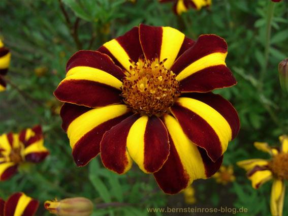 Asterblüte mit zwei Farben: Dunkelrot und Geld