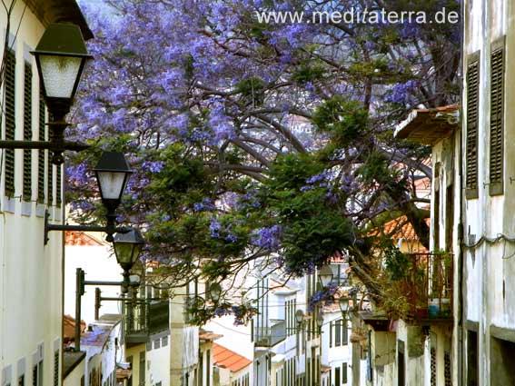 Altstadtgasse in Funchal auf Madeira - blaue Blüten der Jacarandabäume und romantische alte Häuser mit Laternen