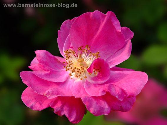 Duftmeditation mit pinkfarbener Wildrose - Achtsamkeitstraining