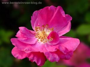 Wildrose dunkelrosa Bluete