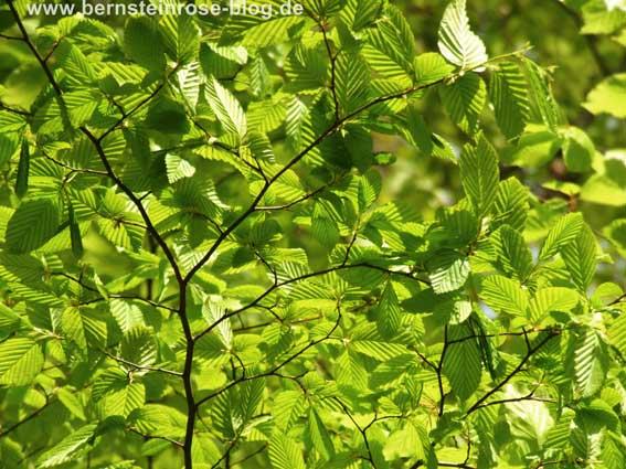 Buchenzweige - frisches Grün im sonnigen Fühling - Achtsamkeitsmeditation
