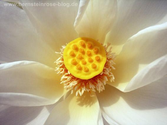 Lotusbluete mit weissen Bluetenblaettern