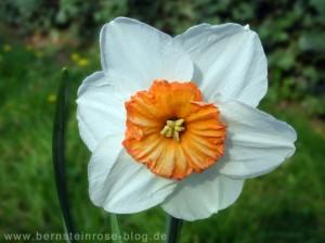 weiße Osterglockenbluete im Garten