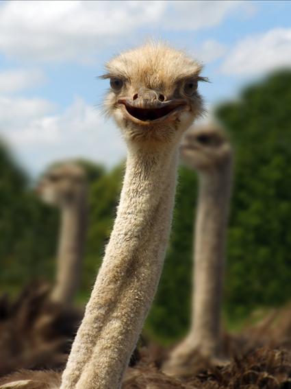 Straußenvogel - lächelnder Gesichtsausdruck